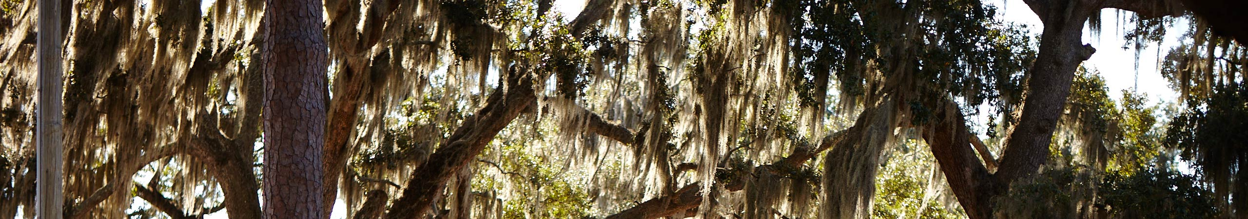 Trees with Spanish moss
